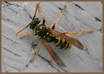 Wasp, Hornet, Yellowjacket Control Tacoma