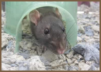 Rodent Removal, Rat and Mice Pest Control